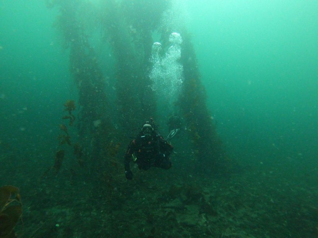 bosques de macroalgas en el canal beagle