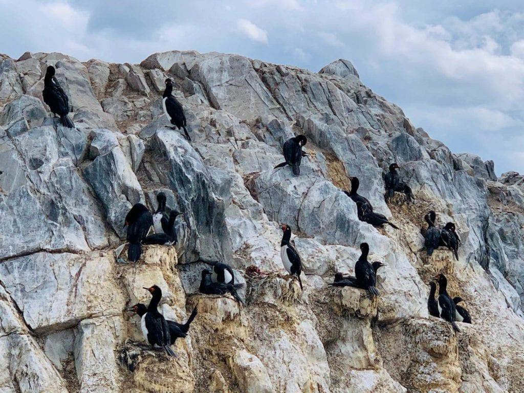 cormoranes roqueros