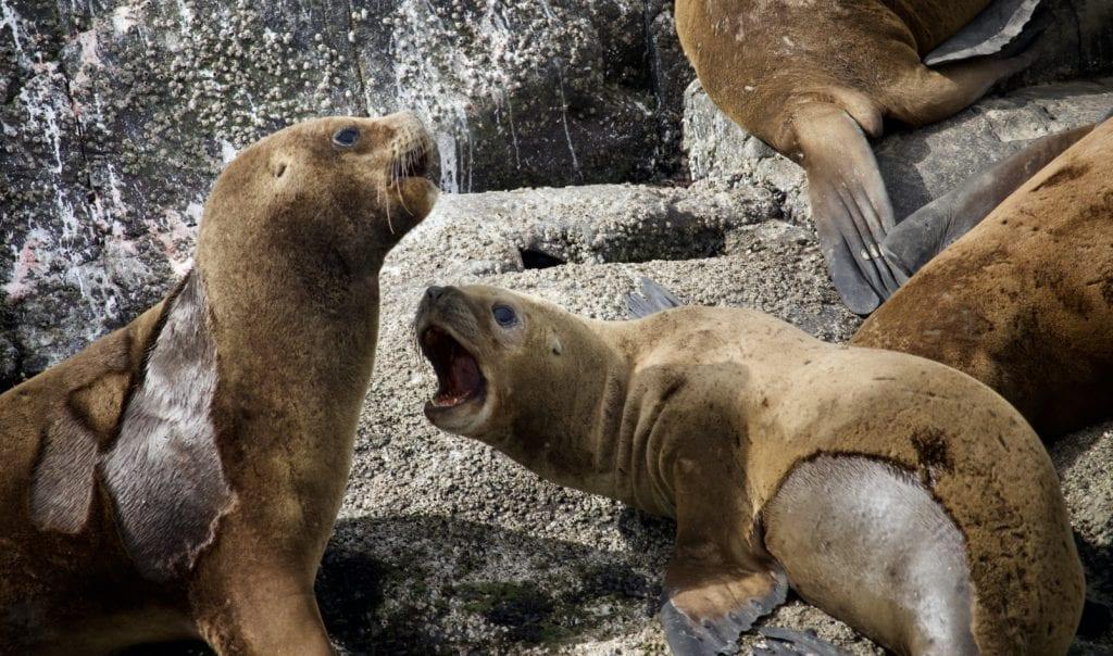 lobos marinos de 1 pelo