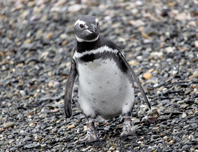 pingüino Magallanico