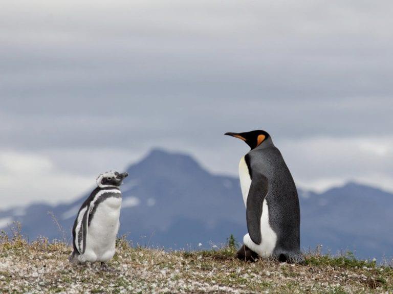 pinguino magallanico y rey