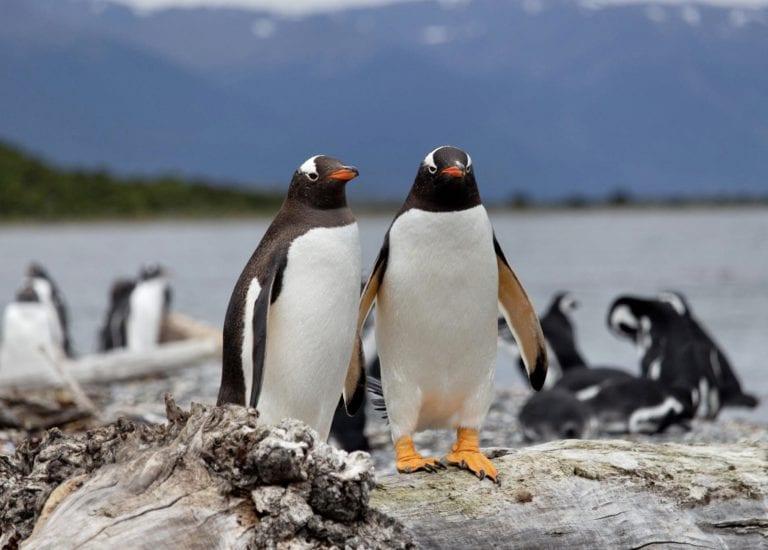 pingüinos Papúa